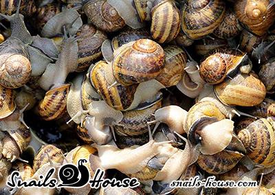 Live garden snail