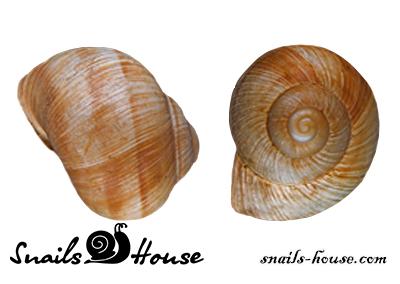 Helix pomatia shell