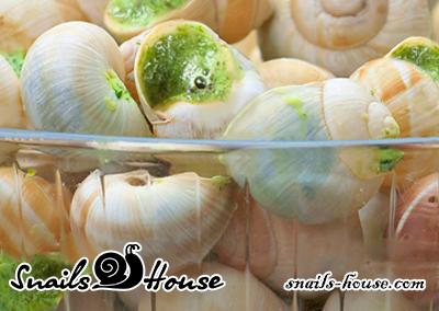 Helix pomatia burgundy snails