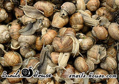 Live snails From Snails House