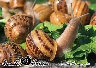 Helix Aspersa Muller live snail