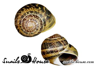 Helix Maxima Shell