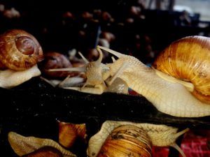 Types and variations of snails  Useful articles about snails