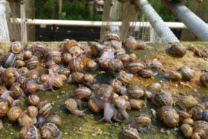 Step-by-step manual for snails cultivation