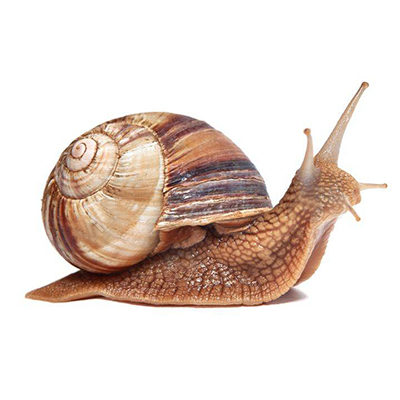 Order Helix Pomatia wholesale online in Snails House • Buy a grape