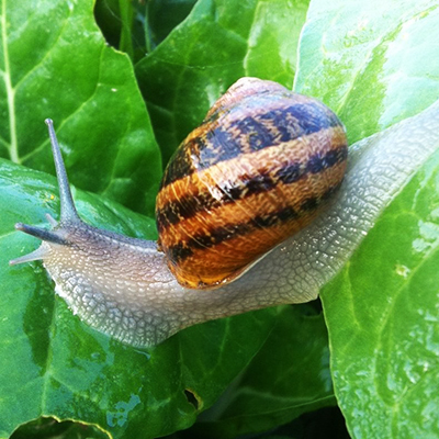 What are the nutrition differences between Helix Aspera Maxima and Mülle