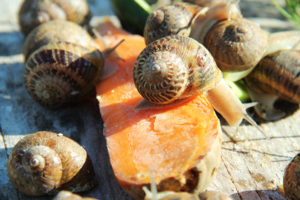 What to use for cultivation of Helix aspersa Maxima and Helix aspersa Müller snails